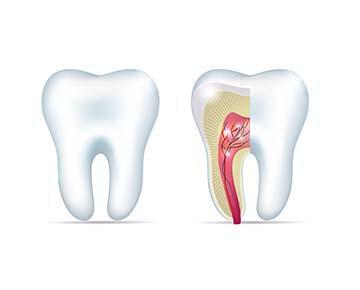 Root Canal Diagram | Carlton OR